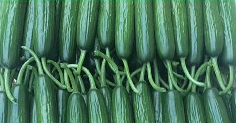 夏多星黄瓜